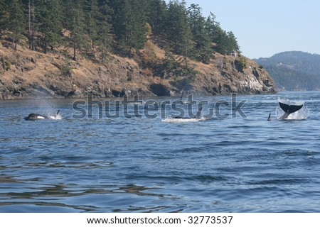 Several Orca from resident pod playing near san juan islands