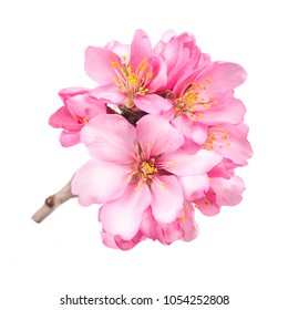 several pink almond flowers on a close-up branch isolated on white background