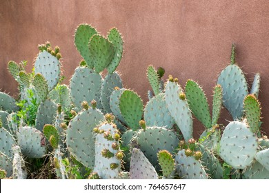 Several prickly pear bunny ear cactus in a natural garden against a stucco wall in New Mexico.
