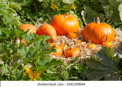 Several Pumpkins on straw bed