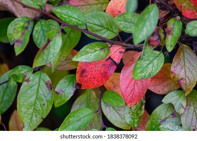 Several red leaves among the green on a bush in the park in autumn. nature concept background. - Shutterstock ID 1838378092