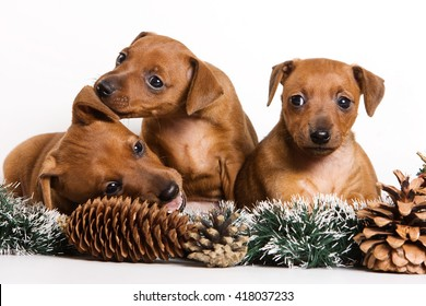 Several Red pinscher puppy and New Year (isolated on white)