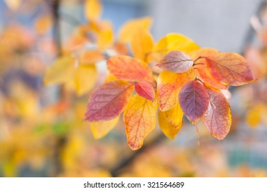Several red and yellow  autumn leaves
