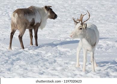 Several reindeers in winter, Yamal, Russia
