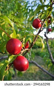 Several ripe red nectarines hanging from the branches of a tree in an orchard, on a sunny summer afternoon. Concept of organic farming; fresh, natural, healthy, unprocessed fruit.