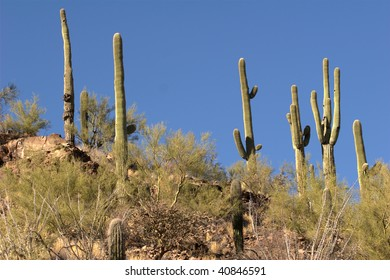 Several Saguaro Cactus on a slope with sky for a background for many of the cactus. They are surrounded by a desert brush