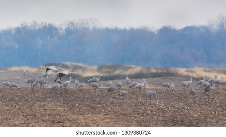 Several sandhill cranes graze in search for food as others fly into the field.