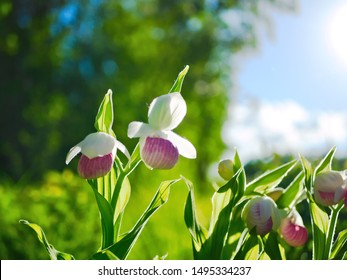 Several Showy Lady's-slippers, Cypripedium reginae, also known as Pink-and-white Lady's-slipper or the Queen's Lady's-slipper. Official Minnesota State Flower - beautiful backlit blossoms.