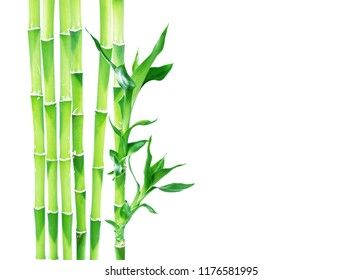 Several stem of Lucky Bamboo (Dracaena Sanderiana) with green leaves, isolated on white background, with copy-space