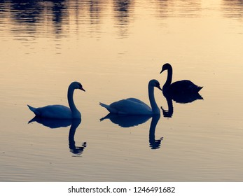 several swans on a lake in austria