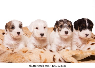 Several terrier puppies in a blanket (isolated on white)