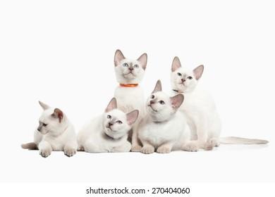 Several thai kittens on white background