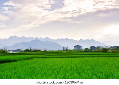 Several trees and several houses are behind the rice fields. At Nantou city, Taiwan.In September 2018.