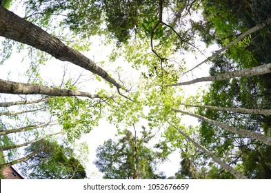 several trees in the middle of the forest, seen from below. Green trees, passing a sense of tranquility. Contact with nature.