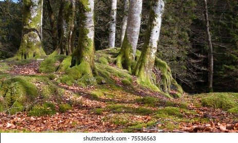 Several trees in Norwegian forrest at autumn