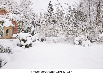 Several trunks on a vine maple tree fall in a winter snow storm