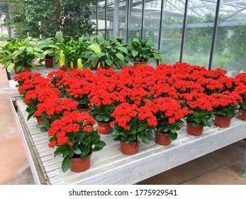 Several vases of red colored flowers plants with several vases of green leaves plants in the background