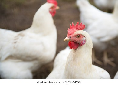 Several white chicken walking in the grass