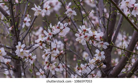 Several white flowers with pink details and blurred background