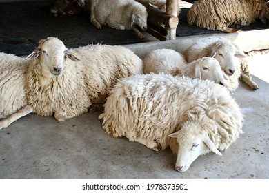 Several white shaggy sheep crested each other. Avoid sunlight on the concrete cement floor.