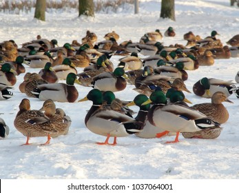 Several wild ducks and drakes in the winter in the city park of St. Petersburg, Russia on the earth covered with ice and snow in sunny winter day.