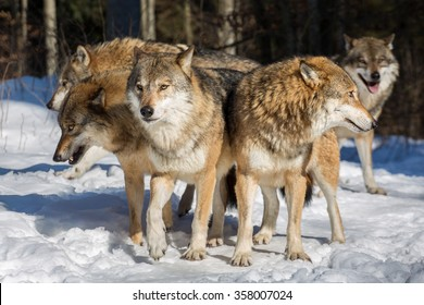 Several wolves standing together with their heads sticking into multiple directions in winter woods