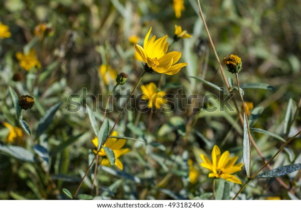 Several yellow flowers on a green background.