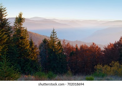 Several young spruces, pines, orange deciduous trees against smoky mountain range covered in purple grey mist under warm light cloudless sky on a warm fall evening in October. Carpathians, Ukraine