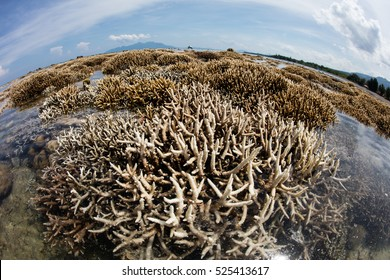 A severe low tide exposes reef-building corals on a fringing reef growing along the island of Flores in Indonesia. This tropical region is known for its high marine biodiversity.