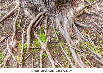 Severe soil erosion over the years has exposed a network of the root system from a mature tree. An environmental issue challenging many global natural ecosystems.