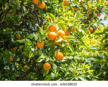 Seville orange (Citrus aurantium) is native to southeast Asia, and has been spread by humans to many parts of the world.