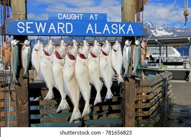 SEWARD, ALASKA, USA, JULY 18, 2014: The halibuts caught at Seward Alaska were hook for weighing and showing in Seward, Alaska, USA on July 18, 2014
