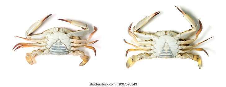 Sex of Blue swimming crab on white background.