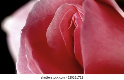 sex, pussy, vulva, clitoris, vagina, Orgasm, sexy, love, spring, bloom, petal, Erotic rose flower, Flower imitating the female sex, visual allegories, visual metaphors, photographic allegories, sexy,