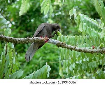 Seychelles black parrot
