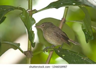 Seychelles Brush Warbler