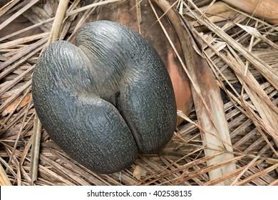 seychelles endemic species coconut named coco de mer