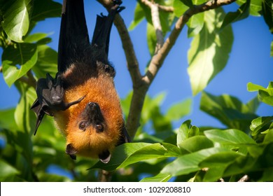 A Seychelles fruit bat or flying fox Pteropus seychellensis hanging from a branch and pointing with its finger while looking at the camera