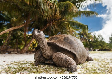 Seychelles. Giant tortoise on Curieuse Island.