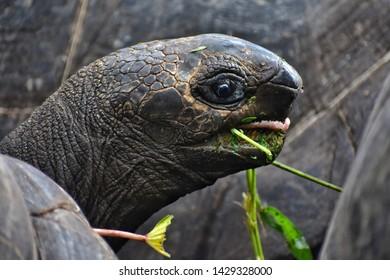 seychelles giant tortoise on Praslin island
