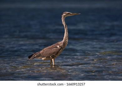 Seychelles Gray heron hunts in the water