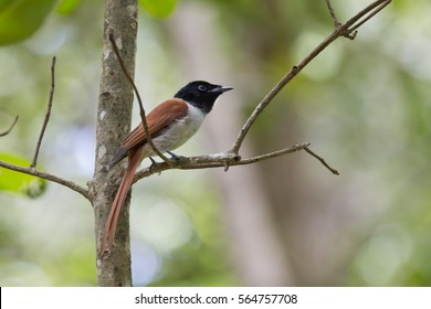 Seychelles Paradise Flycatcher - female