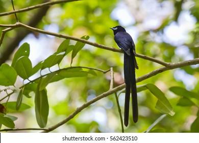 Seychelles Paradise Flycatcher - male