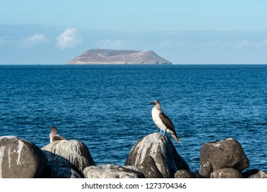 SEYMOUR NORTH ISLAND, GALAPAGOS - OCT 26, 2018: a blue footed booby standing on a rock in front of the sea and with Daphne Major Islet in the background at Seymour north on October 26th 2018.