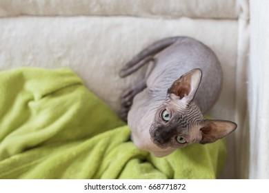 sfinx cat looking at the camera