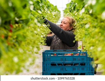 s-Gravenzande, The Netherlands - April 24, 2018: Female worker at a strawberry Greenhouse with rows of ripe strawberries and strawberry flowers.