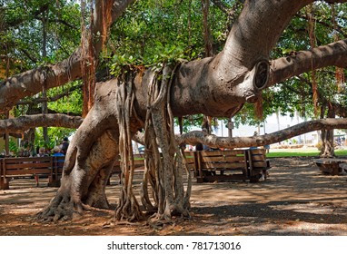 In the shade of the 1873 old Banyan tree in Lahaina, Maui, U.S.A.