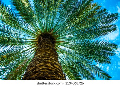IN THE SHADE OF  DATE PALM TREE. Bottom view of a date palm tree. View from Saudi Arabia (KSA) Madina.