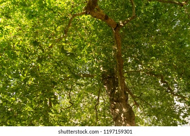 In the shade of a large linden tree