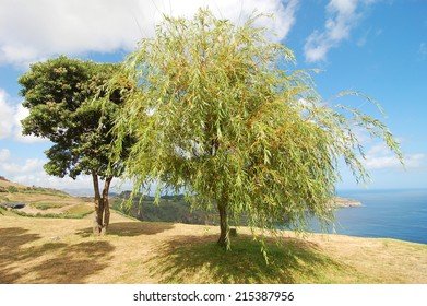 In the shade of the willow tree near the ocean in azores island